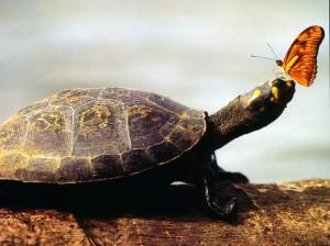 Papel de Parede Gratuito de Natureza  Tartaruga da Amazônia